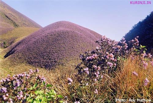 Kurinji flowers (Strobilanthes kunthiana)